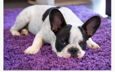 Don't Let Pets Ruin Your Carpet
