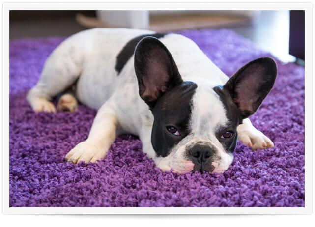 Don't Let Pets Ruin Your Carpet