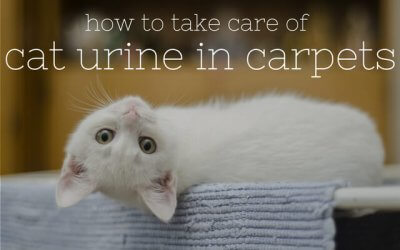 How to Take Care of Cat Urine in Carpets