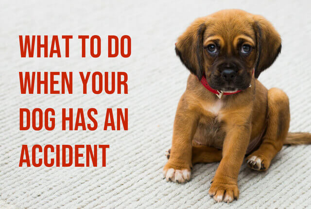 What To Do When Your Dog Has An Accident Short Stop Chem Dry